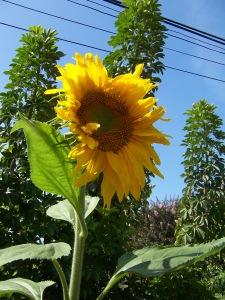 Backyard Sunflower in July