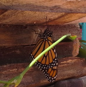 Our first female Monarch butterfly just hatched!