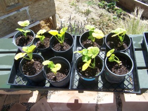 seed sprouts 002